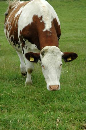 Vache vue 1