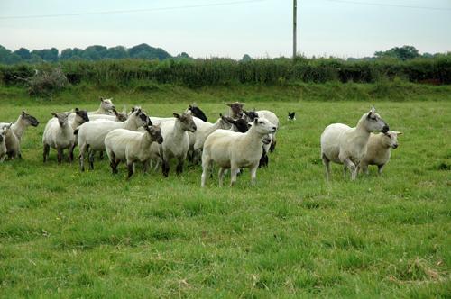 Regroupement troupeau brebis vue 1
