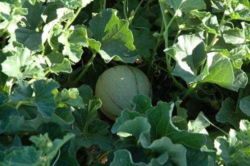Melon dans champs deux vue 1