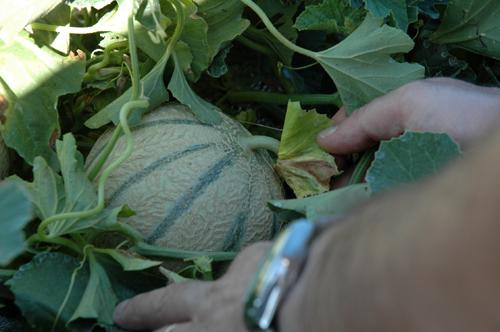 Melon a maturite vue 1