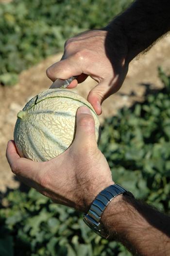 Gouter a un melon dasn un champs vue 1