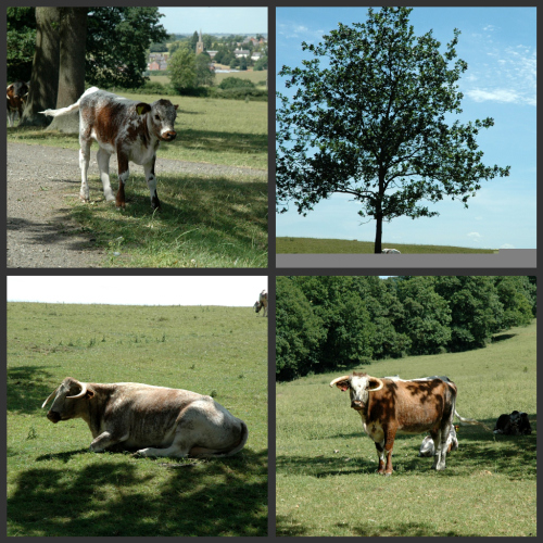 Quenby hall vaches vue 1
