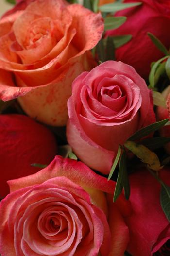 Roses vue 1