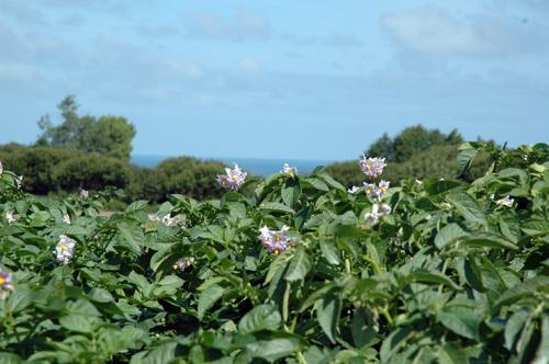 Fleurs de pommes de terre vue sur mer vue 1