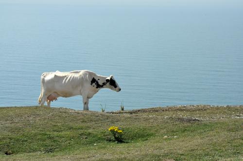Vache tennyson down vue 1