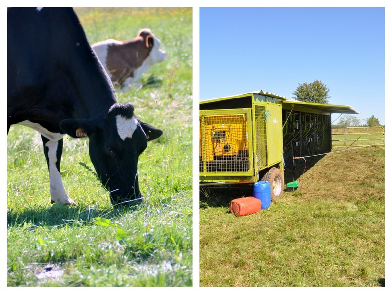 Trate vaches dans paturage