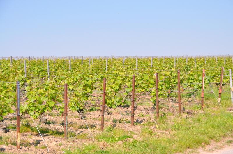 Vignes ruinart champagne juin 2013