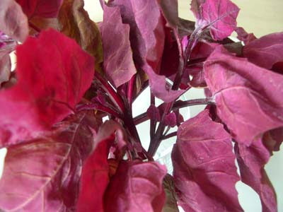 Arroche_rouge_bouquet_vue_1