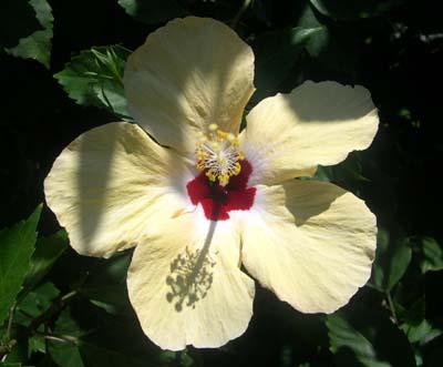 Fleur_hibiscus_jardin_deshaies_vue_1