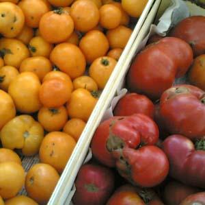 Tomates_plein_champ_5